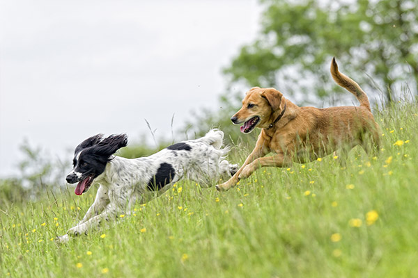Four Paws Inn - Dogs running in field